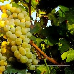 particolari uva